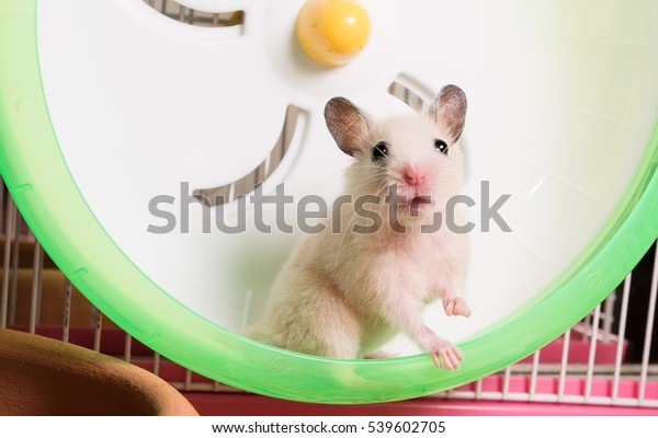 Syrian hamster is staring at camera and right foot hold on the running wheel
