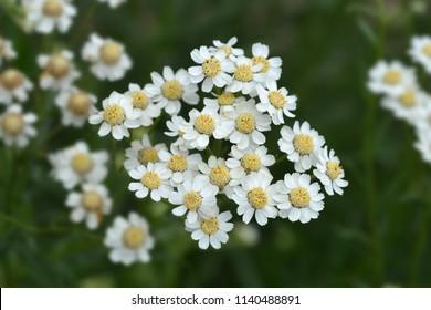 Syrian rue white flowers - Latin name - Peganum harmala