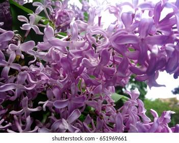 Syringa lilac blooming in park
