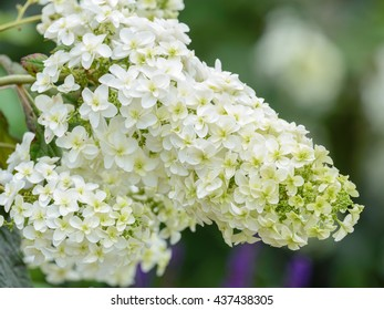 Syringa (lilac) white color flower in japan