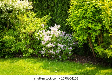 Syringa microphylla 'Superba' in the park, blooming lilac