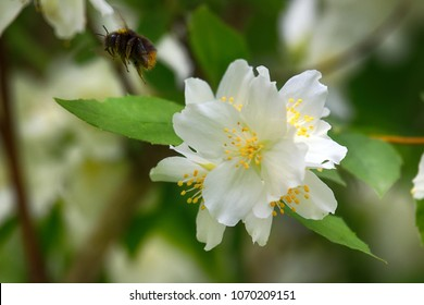 Syringa, Philadelphus - is fragrant flower of summer, Red-tailed bumble-bee (Bombus lapidarius) male, Syringa as honey plant, nectariferous plant, entomophilous. Entomogamy. Bumblebee in flight