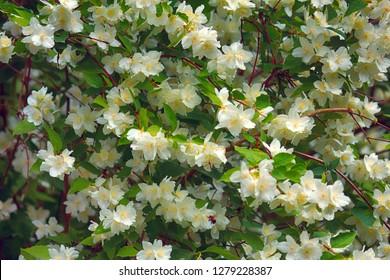 Syringa, Philadelphus - is luxurious virgin fragrant flower of beginning of summer, snow-white flower - Jasmin - wedding wreath. Summer lush flowers blossoming