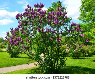Syringa vulgaris (lilac or common lilac) is a species of flowering plant in the olive family Oleaceae, native to the Balkan Peninsula, where it grows on rocky hills