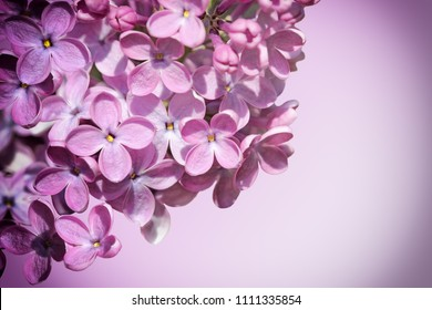 Syringa vulgaris Lilac Flowers blooming as a nature background