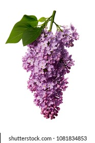 Syringa vulgaris, Lilac. Purple lilac flower on white background.