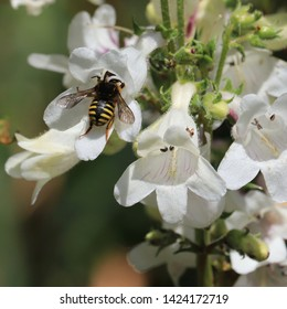 Syrphid fly on smooth penstemon (P. digitalis) wildflower in northern New Jersey garden spring June 2019