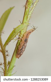 Syrphid (hoverfly) fly larvae feeding on an aphid