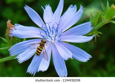 A Syrphid Hoverfly is resting on a blue Common Chicory flower. Todmorden Mills Park, Toronto, Ontario, Canada.