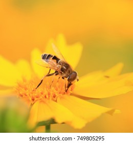 Syrphidae in the flowers