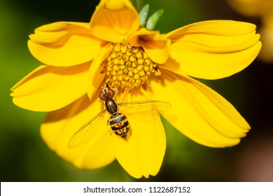 Syrphidae fly (Toxomerus Geminatus) collecting pollen on a goldilocks rocks flower