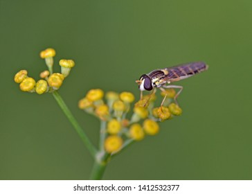 Syrphidae hoverfly (could be Melanostoma scalare), Crete