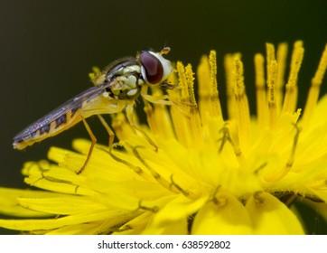 Syrphidae on yellow flower