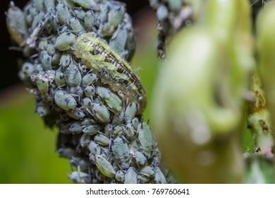 Syrphus ribesii hoverfly larva feeding on aphids
