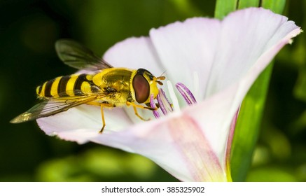Syrphus ribesii hoverfly on a white flower