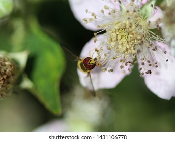 Syrphus ribesii, a very common European species of hoverfly