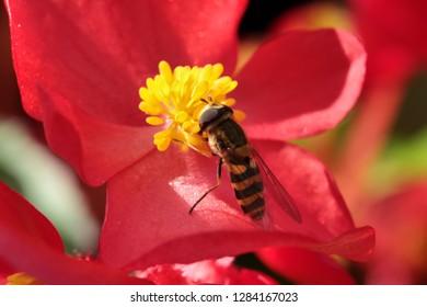 Syrphus vitripennis hoverfly