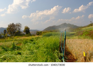 system watering in farm agricultural plants,barley in field conversion test at North Thailand,barley for background