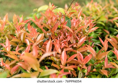 Syzygium australe red leaves.selective focus