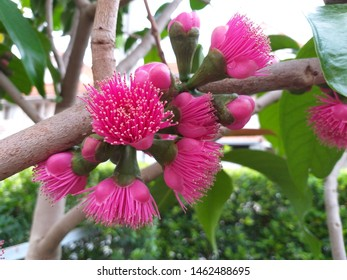 Syzygium malaccense flowers of Malay rose apple or Mountain apple, the fruit is oblong-shaped and dark red in color, Indonesians consume the flowers of the tree in salads