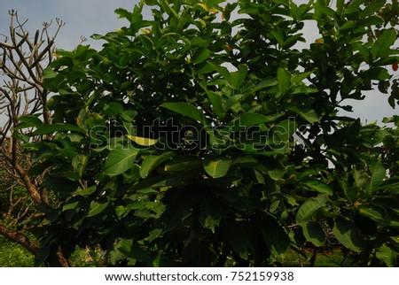 Syzygium Mediumsized Shrubs Spear Shaped Leaves Stock Photo Edit
