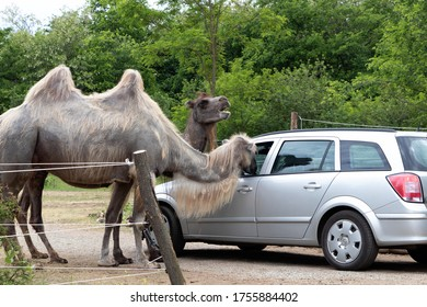 SZADA, HUNGARY - JUNE 01, 2020 - Camels is looking for food in visitor's car in a car safari park in Hungary