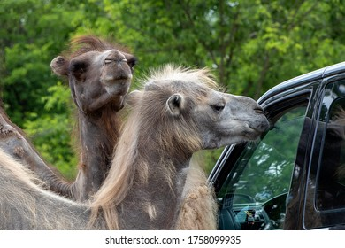 SZADA, HUNGARY - JUNE 01, 2020 - Camels are looking for food in visitor's car in a car safari park in Hungary