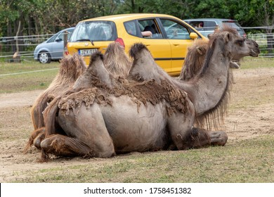 SZADA, HUNGARY - JUNE 01, 2020 - Camels are waiting for food in a car safari park in Hungary
