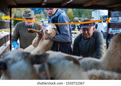 SZCZAWNICA,POLAND - OCTOBER 12, 2019: Farmers Loading Sheeps on trailer and transport them to farm for winter time before return on grazzing at spring.