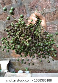 Szechuan pepper Zanthoxylum piperitum used for Fish dishes in India Spikes or Thorn having plants fruit Teppal TirpalTeppal or Tirphal Zanthoxylum rhetsa