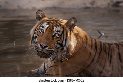 T57 Aka Aurangzeb This mighty male is ruling some amazing habitat currently at Ranthambhore