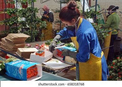 TABACUNDO, ECUADOR - CIRCA MAY 2016: Woman bundling roses for export at a rose farm