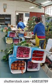 TABACUNDO, ECUADOR - CIRCA MAY 2016: Roses on a conveyor belt bound for export at a rose farm