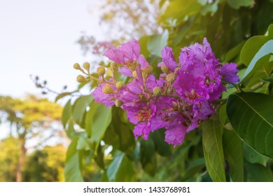 Tabaek tree. a purple flowers