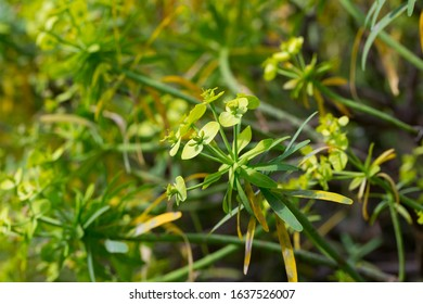 Tabaiba salvaje (Euphorbia regis-jubae) is a shrub endemic of Canary Islands