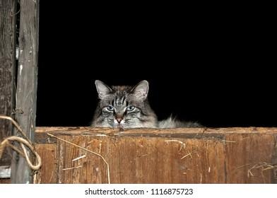 tabby barn cat in hay loft