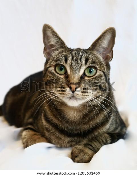 Tabby Bengal Mix Cat Stock Photo (Edit Now) 1203631459