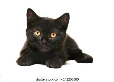 Tabby Black British Shorthair Kitten on white background Cute british shorthair kitten laying on white background