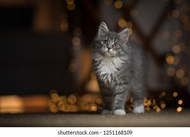 tabby blue maine coon  kitten standing on sisal carpet with light string bokeh in the background