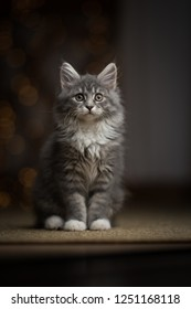 tabby blue maine coon kitten sitting on sisal carpet looking at camera