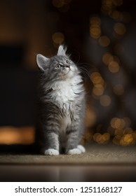 tabby blue maine coon  kitten standing on sisal carpet looking up with light string bokeh in the background