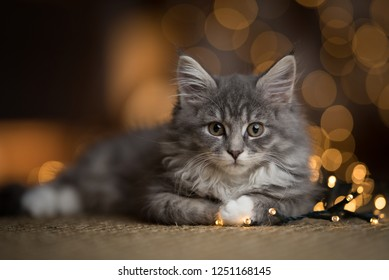 tabby blue maine coon kitten lying on a sisal carpet in front of bokeh lights looking directly at the camera