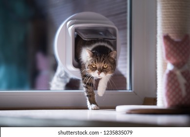 tabby british shorthair cat entering the room by passing through a catflap in the window.