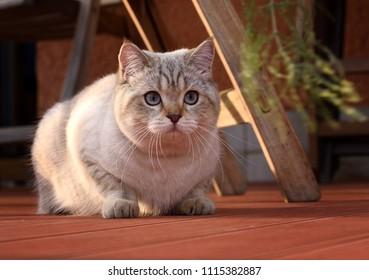 Tabby british shorthair tomcat lying on terrace