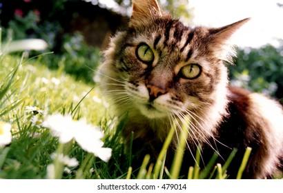 'Tabby cat'