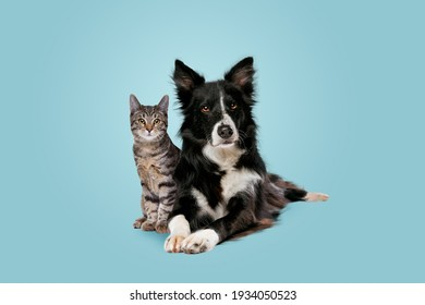 tabby cat and border collie dog in front of a blue gradient background