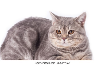 "Tabby cat breed "" British Shorthair """