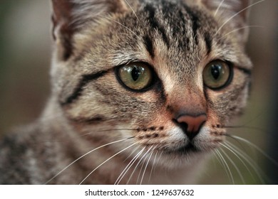 Tabby Cat and its curious glances