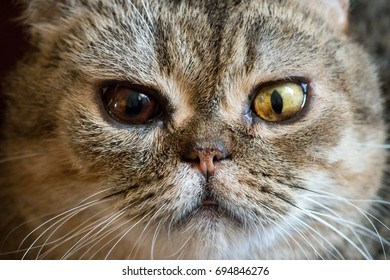 Tabby cat with different colored eyes close-up