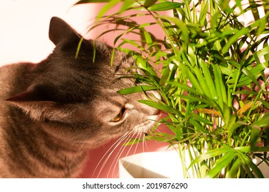 Tabby cat eating houseplant. Domestic cat nibbling on green plant. House cat smelling or sniffing a plant in a flowerpot.